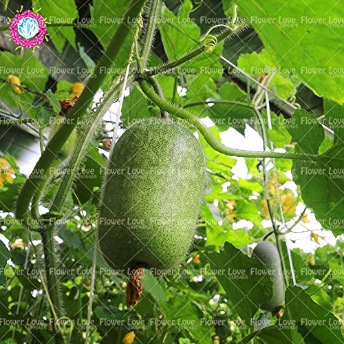 10PCS Escalade Mini Graines Melon d'hiver (Benincasa hispida) Graines de légumes comestibles bio en plein air palnt Pour jardin