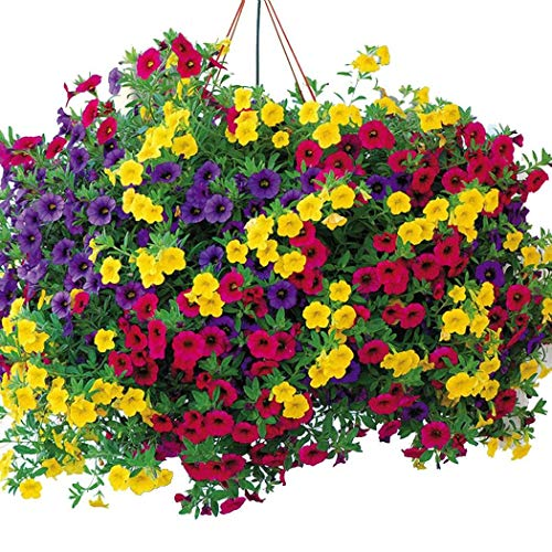 MURIEO jardín- 100pcs Morning Glory Seeds'Summer Mix', jardín de plantas trepadoras, macetas campanas mágicas para balcón y patio