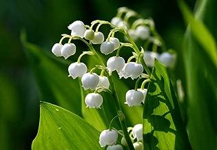 10 Lily of The Valley (Convallaria majalis) Bulbs - Fresh Bulbs Flower Spring Summer Beautiful Garden