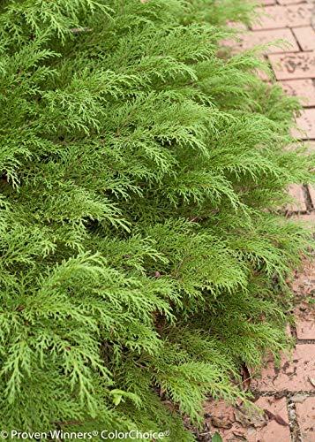 Celtic Pride Siberian Cypress- 4' Pot - Microbiota decussata - Proven Winners