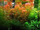 Red Cabomba - Cabomba furcata, Cabomba piauhyensis - 1 Bunch - Live Aquarium Plant