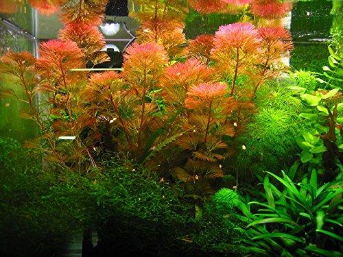 Aquarium Fan Rote Haarnixe - Cabomba furcata, Cabomba piauhyensis - 1 Bund