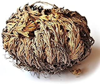 1-Piece AURA VARIETY Rose of Jericho Resurrection Plant with