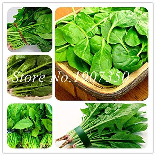 Shopmeeko Graines: 100 PCS Heirloom vert épinards vert Salade d'épinards aux légumes Feuilles bon goût plantes non-OGM jardin