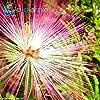 20 Graines Pieces Bonsai Albizia fleur appelée semences Mimosa Arbre Soie rares plantes de jardin en pot arc-en-Fleurs Pot #2