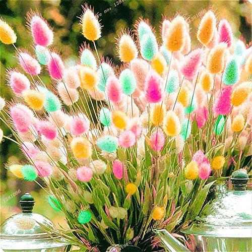 2016 Nouvelle couleur de mélange Ga 100 Pcs / sac de lapin herbe queue Graines Bonsai Jardin des plantes en pot Fleurs Light Up Votre Manor