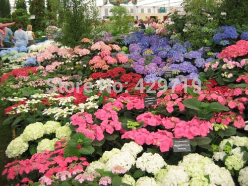 20 pcs / graines de hortensia pack, balcon en pot, la plantation est simple, le taux de bourgeonnement de 95%, l'absorption de rayonnement, couleurs mélangées