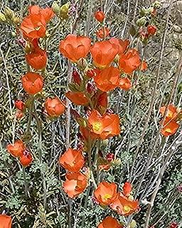 Best desert globemallow seeds Reviews