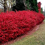 Dwarf Burning Bush Shrub - Red Hedge (10+ Bare Roots)