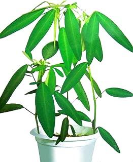 dancing tree plant