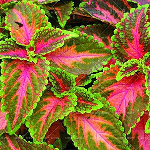 Elitely 100pcs/Bag Mix Coleus Color Flor Rainbow Leaf Grass Labios para Home Garden Supplies Bonsái Semillas: 5