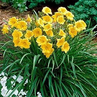 5 Bareroot Hemerocallis Stella D`Oros Daylilies 1-2 Fan Daylily bareroot Plants
