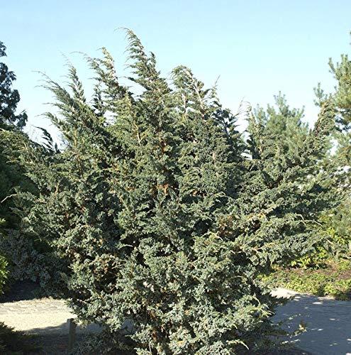 Blauzeder Wacholder 30-40cm - Juniperus...