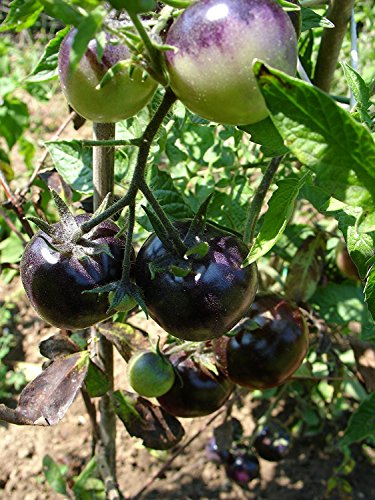 Bosque Blue Tomate, blaue Tomaten, sehr fruchtig, 10 Samen, von unserer ungarischen Farm samenfest, nur natürliche Dünger, KEINE Pesztizide, BIO hu-öko-01