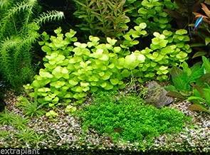 Golden Lloydiella Lysimachia nummularia Aurea Live Aquarium Plants