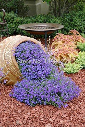 200pcs graines rock cress Cascading Seeds (Aubrieta Hybrida Superbissima) ornemental-plante couvre-sol des plantes résistant au froid