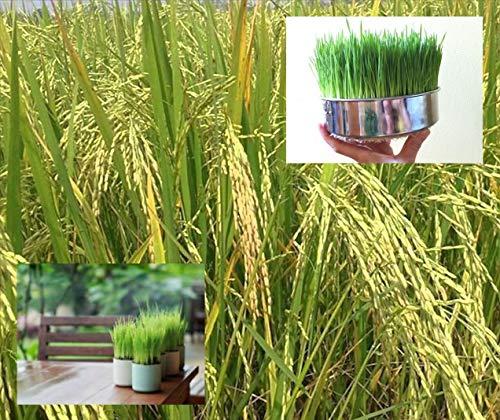 Schwarz-klebriger klebriger Reis: Thai-Reis Oryza Sativa 100 Heirloom Jasmin oder klebriger Samen, einfach anzubauen