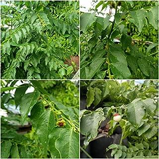 ASTONISH Seeds Package: New! 5-Seeds-Sauropus Gooseberry-Androgynus-Katuk-Sweet-Leaf-Bush-Star-2018