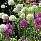 Zierlauch Allium Herbstpflanzung