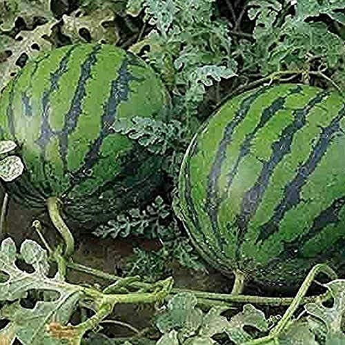 30Pcs Watermelon Seeds Home Gardening Fruit Planting Popular Heirloom Seed Outdoor Garden Decoration Easy to Care for Autumn Harvest