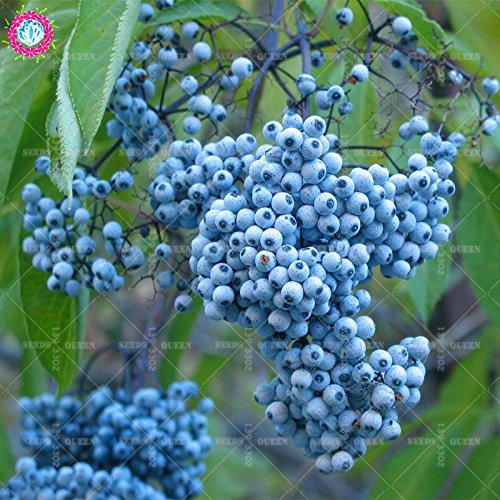 20 pcs/sac réel sureau graines graines de plantes potagères herbes médicinales vivaces en pot Maison et jardin 95% bonsai taux de germination 1