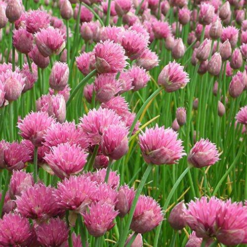 Blumixx Stauden Allium schoenoprasum 'Forescate' - Zier- und Gewürzschnittlauch, im 0,5 Liter Topf, purpurrot blühend