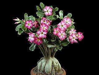 caudiciform plants for sale