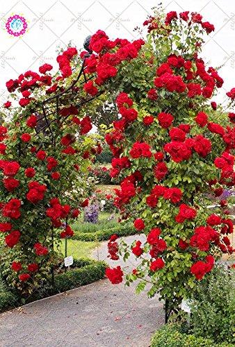100PCS rosier grimpant Graines Rare Belle chinoise Double Rose vivace Graines de fleurs en plein air de plantes pour la décoration de jardin