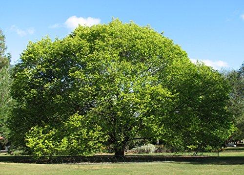 25 x Bergulme, Ulme (Ulmus glabra) 50 - 80 cm, Baum des Jahres 1992