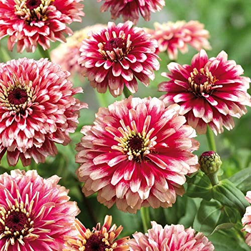 AIMADO Samen-50 Pcs Zinnie Samen Flamenco wunderschön, auffallende Blüten Blumensamen Sommer Herbst für Bonsai Topf geeignet