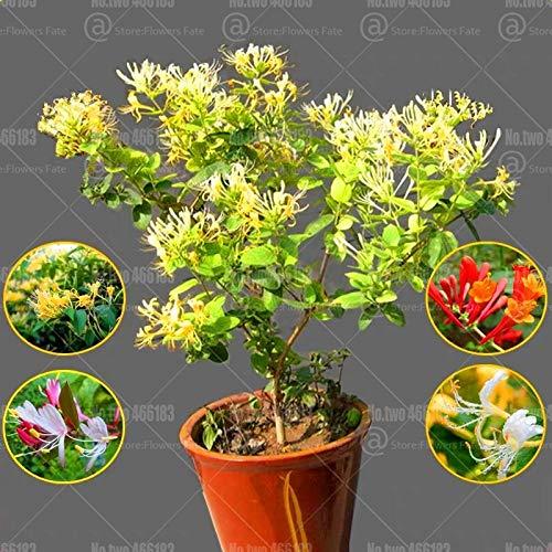 100pcs japanische Geißblatt Lonicera Japonica Bonsai Kraut plantas Staude sehr aromatisch seedsplants Blumentopf Gartenblume: gemischt