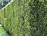 5 Stk. Eibe - Eibenhecke Topfware 15-30 cm hoch - Taxus baccata - Garten von Ehren®