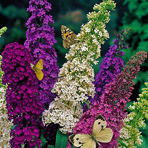Derlam Samenhaus-100 Pcs Sommerflieder Schmetterlingsflieder Blumen bio Samen bonsai Saatgut mischung Blumensamen für Garten Terasse