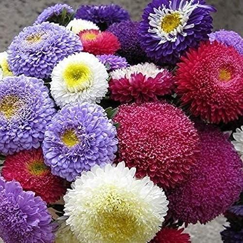 Nippon regular agency Recommended David's Garden Seeds Flower Aster Mulit Rubens SAL Mix Pompon