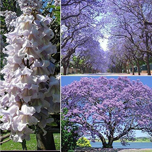 Chinesischer Blauglockenbaum Samen Orchideenartige Blüten, Mehrjährig Winterhart Paulownia Tomentosa Samen, Robust & Schnell Wachsend Baum Kaiserbaum Royal Empress Baumsamen