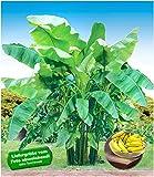 BALDUR-Garten 4 Pflanzen Winterharte Bananen Kollektion Faserbanane Bananenbaum Musa basjoo Bananenpflanze