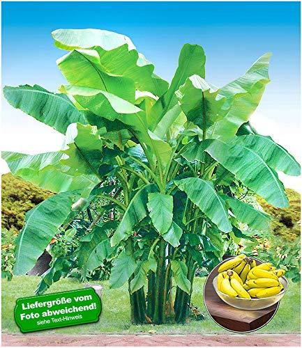 BALDUR Garten Winterharte Bananen \'grün\', 1 Pflanze Faserbanane Bananenbaum Musa basjoo Bananenpflanze