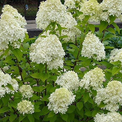 Hydrangea paniculata'Limelight' |...
