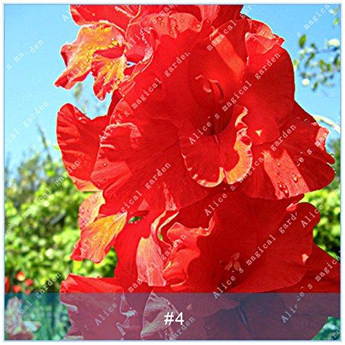 ZLKING 2 ampoules différentes vivaces Gladiolus fleurs d'orchidées Graines Plantes Bonsai Graines Lily Sare Pour jardin Plantation rouge