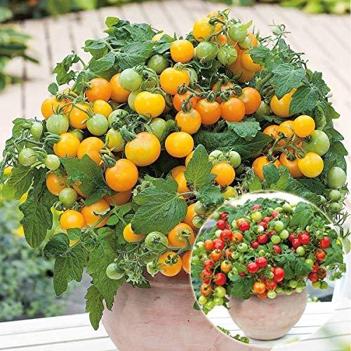 Qulista Samenhaus - 100pcs Selten Bio Zwerg-Tomaten schmackhaft Mini-Ornamental Obstsamen Saatgut winterhart mehrjährig pflegeleicht, ideal für Kübel