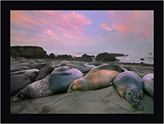 Northern Elephant Seals, Point Piedra Blancas, California by Tim Fitzharris 13