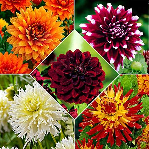 Dahlia Mix | Großblütige Dahlie Gemischt | Bunte Blumen | 5 Knollen