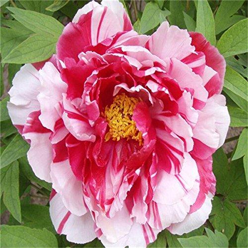 5 pièces/sac graines de pivoine, jaune, graines de fleurs de pivoine rose chinoise belles graines de bonsaï plantes en pot pour le jardin de la maison 8