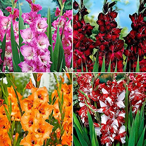 Gladiolos Frescos,Gladiolos Bulbos,Hermosos Colores,Colorido,Fábrica De Decoración De Jardines,Flor Encantadora Y Extraña-10 Bulbos,A