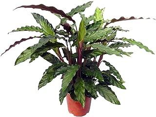 Velvet Peacock Plant - Calathea rufibarba - Collector's Series - 6