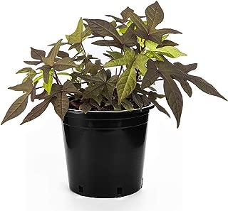 Best purple potato plant Reviews