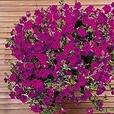 Ideale per patio contenitori e cesti appesi Blooms prodotte su tutta la Trailing steli Può anche essere usato come copertura del terreno preferisce pieno sole Semplicemente e imbattibile