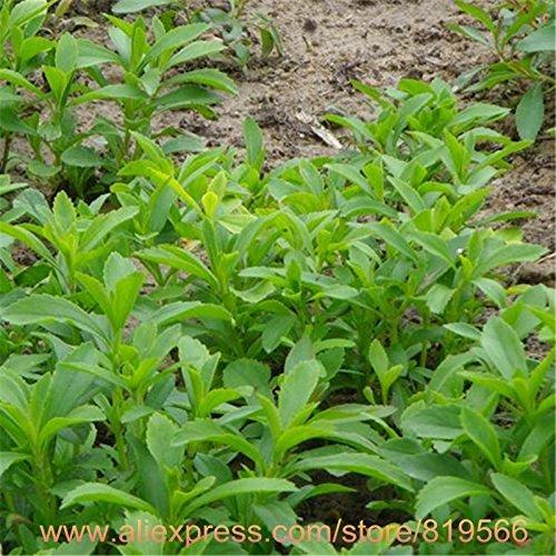 100% Stevia réel Graines Santé sucre Herbes Plantes Bonsai Sementes Outdoor Garden Seed Stevia