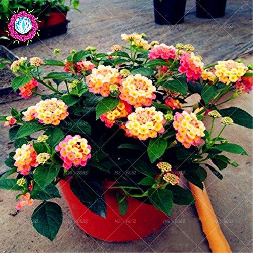 New Lantana Camara en pot Graines 50Pcs/sac Fleurs rares pour le jardin Plantation d'Fleurs Bonsai Semillas de Flores Livraison gratuite 1