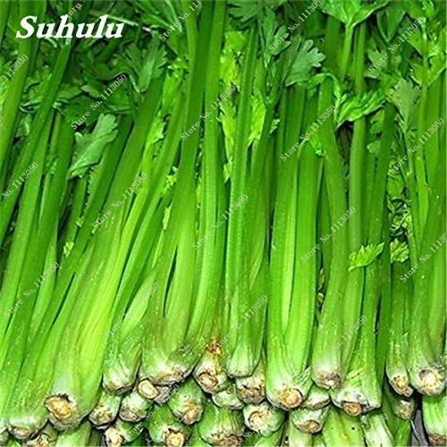 Céleri Semences potagères bio Fragrant semences Bonsai plantes en pot Balcon et cour Terrasse Plantation Easy Grow 100 pièces/sac